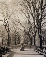 Elms, Central Park, NYC